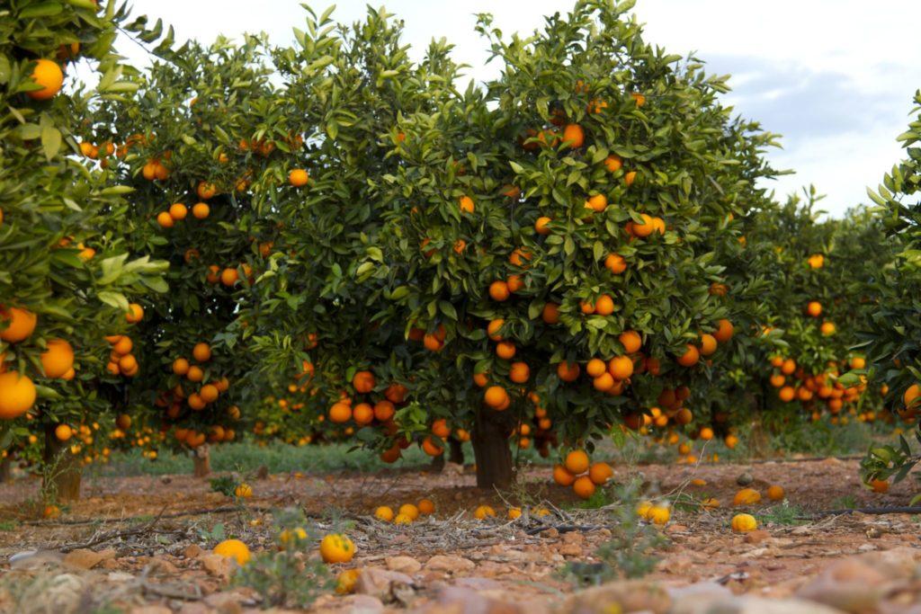 agua de valencia with valencia oranges